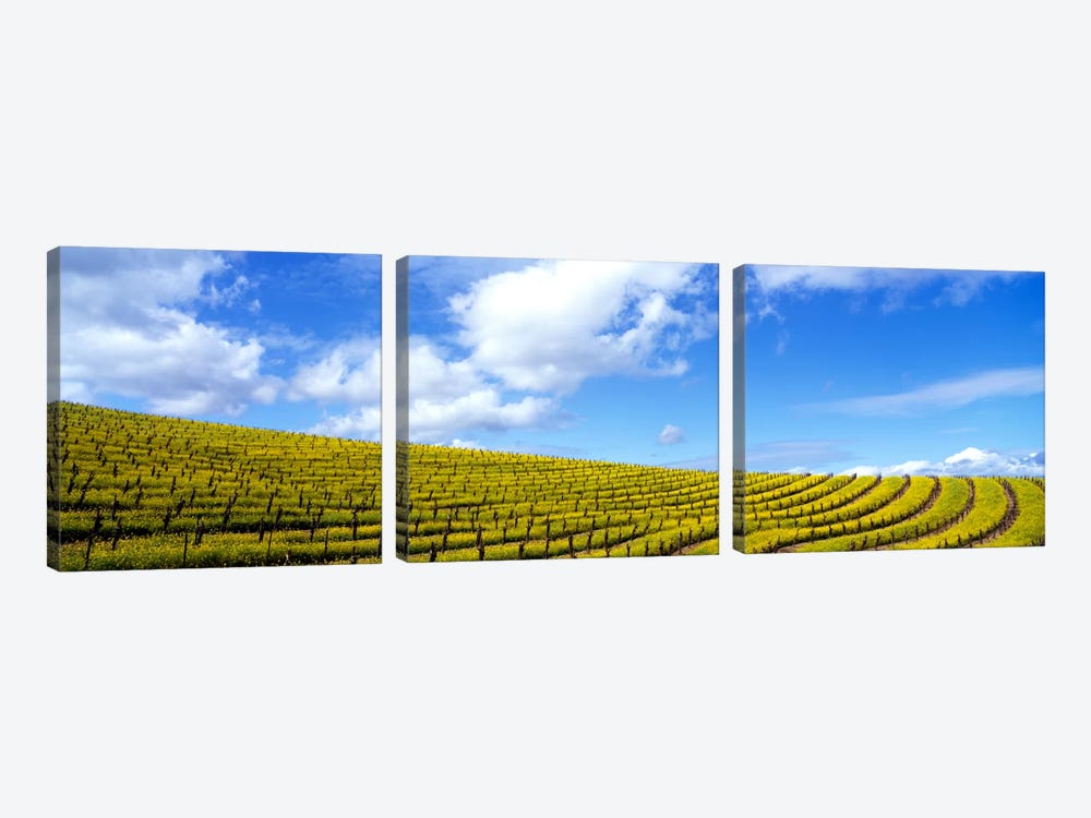 Mustard Fields, Napa Valley, California, USA by Panoramic Images 3-piece Art Print