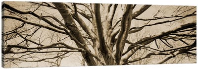 Low angle view of a bare tree Canvas Print #PIM11215