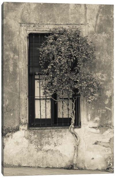 Tree in front of the window of a house, Calle San Jose, Colonia Del Sacramento, Uruguay Canvas Print #PIM11313