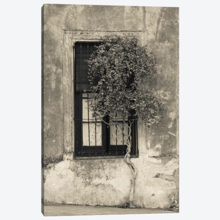 Tree in front of the window of a house, Calle San Jose, Colonia Del Sacramento, Uruguay Canvas Print #PIM11313} by Panoramic Images Canvas Art Print