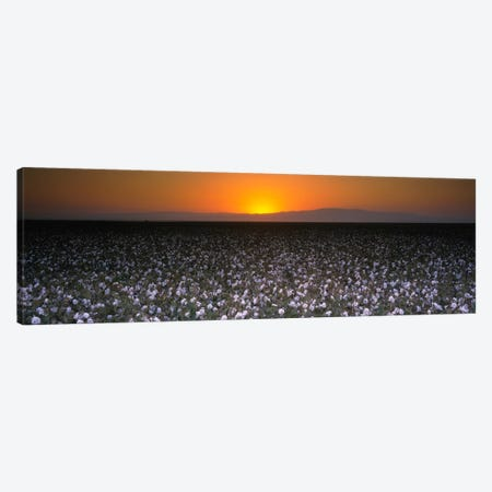 Cotton Field At Dusk, San Joaquin Valley, California, USA Canvas Print #PIM1160} by Panoramic Images Canvas Art