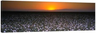 Cotton Field At Dusk, San Joaquin Valley, California, USA Canvas Print #PIM1160