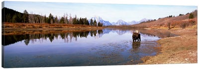 Bull Moose Grand Teton National Park WY USA Canvas Art Print