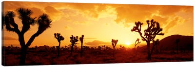 SunsetJoshua Tree Park, California, USA Canvas Art Print