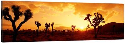 Sunset Joshua Tree Park, California, USA Canvas Art Print