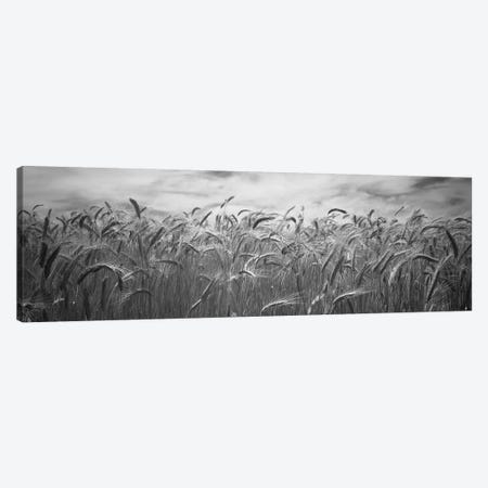Wheat crop growing in a field, Palouse Country, Washington State, USA 3-Piece Canvas #PIM11803} by Panoramic Images Canvas Art Print