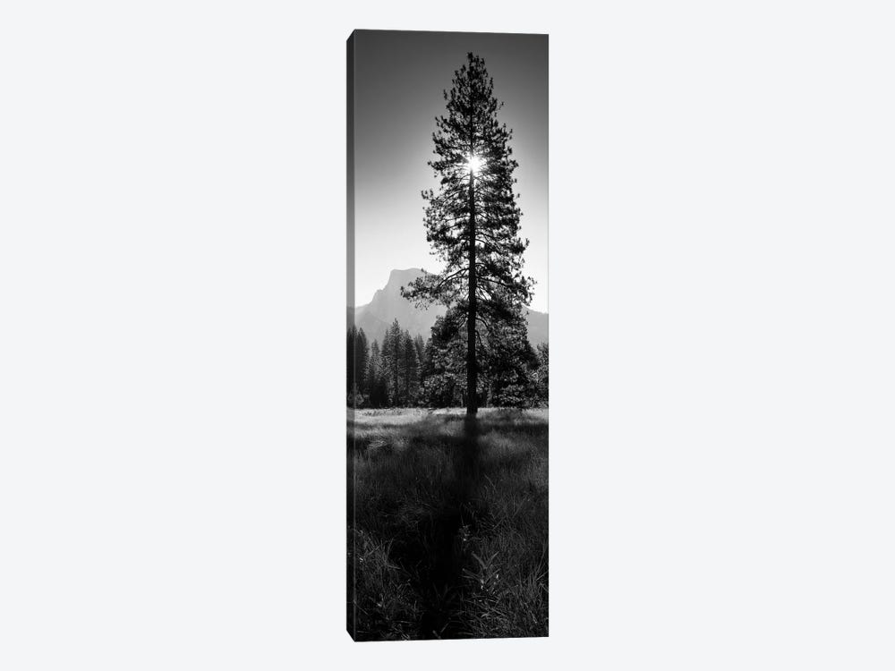 Sun Behind Pine Tree, Half Dome, Yosemite Valley, California, USA by Panoramic Images 1-piece Art Print