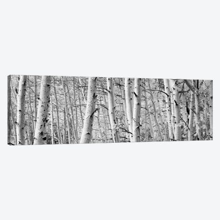 Aspen trees in a forest, Rock Creek Lake, California, USA Canvas Print #PIM11891} by Panoramic Images Canvas Art