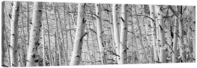 Aspen trees in a forest, Rock Creek Lake, California, USA Canvas Print #PIM11891