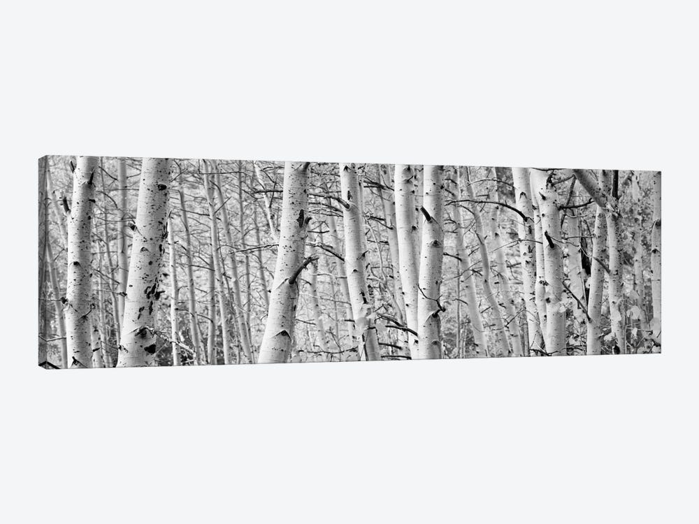 Aspen trees in a forest, Rock Creek Lake, California, USA by Panoramic Images 1-piece Art Print