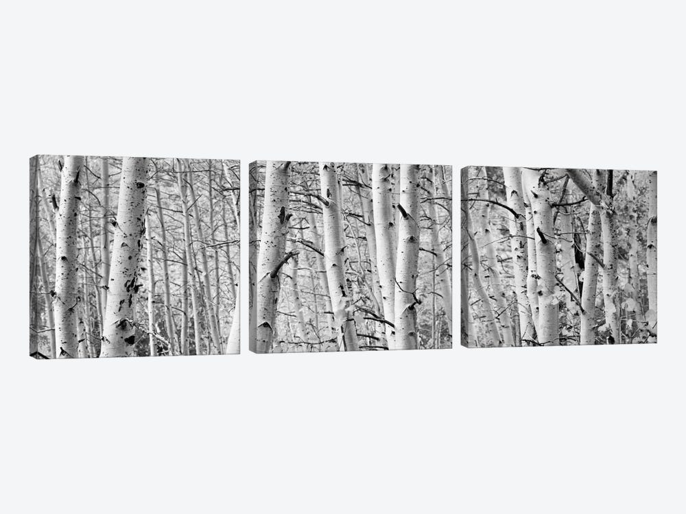 Aspen trees in a forest, Rock Creek Lake, California, USA by Panoramic Images 3-piece Art Print