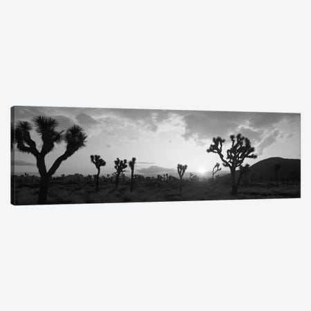Sunset, Joshua Tree Park, California, USA Canvas Print #PIM11905} by Panoramic Images Canvas Art Print