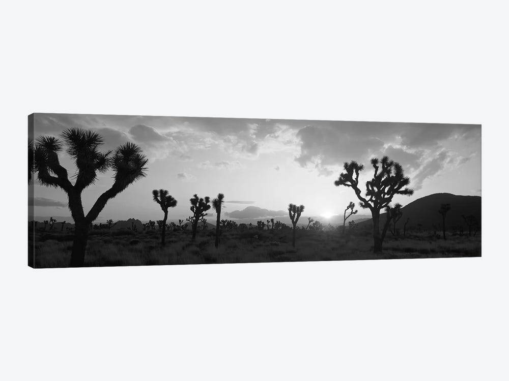 Sunset, Joshua Tree Park, California, USA by Panoramic Images 1-piece Canvas Art Print