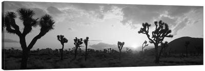 Sunset, Joshua Tree Park, California, USA Canvas Art Print