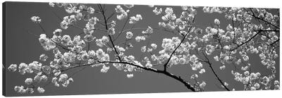 Cherry Blossoms Washington DC USA #2 Canvas Print #PIM11922