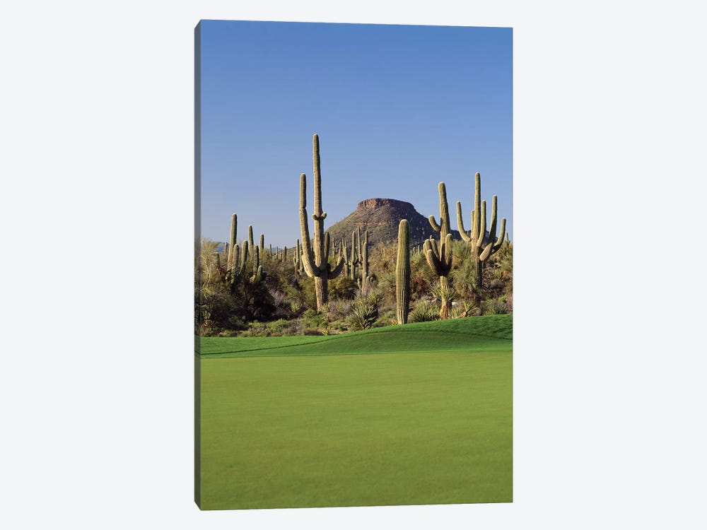 Saguaro cacti in a golf course, Troon North Golf Club, Scottsdale, Maricopa County, Arizona, USA by Panoramic Images 1-piece Canvas Artwork