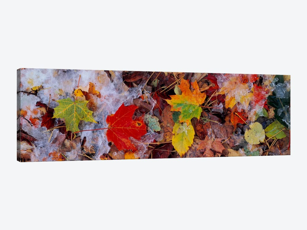 Frost on leavesVermont, USA 1-piece Canvas Artwork