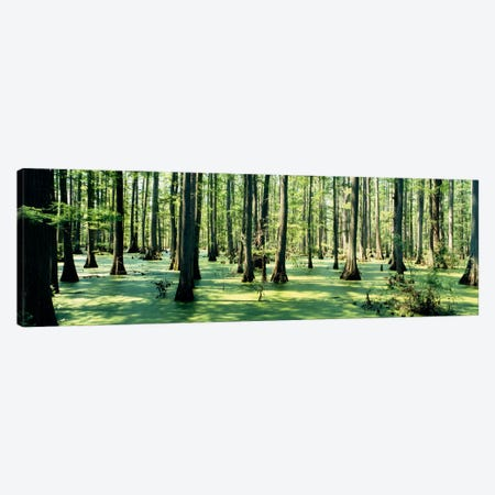 Cypress trees in a forestShawnee National Forest, Illinois, USA Canvas Print #PIM1260} by Panoramic Images Canvas Print