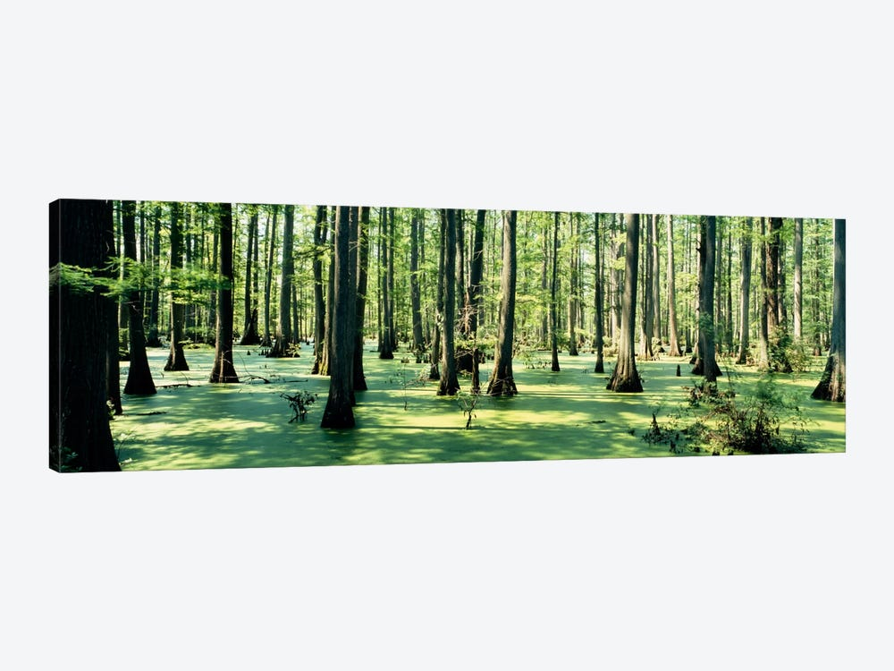 Cypress trees in a forestShawnee National Forest, Illinois, USA 1-piece Canvas Art Print