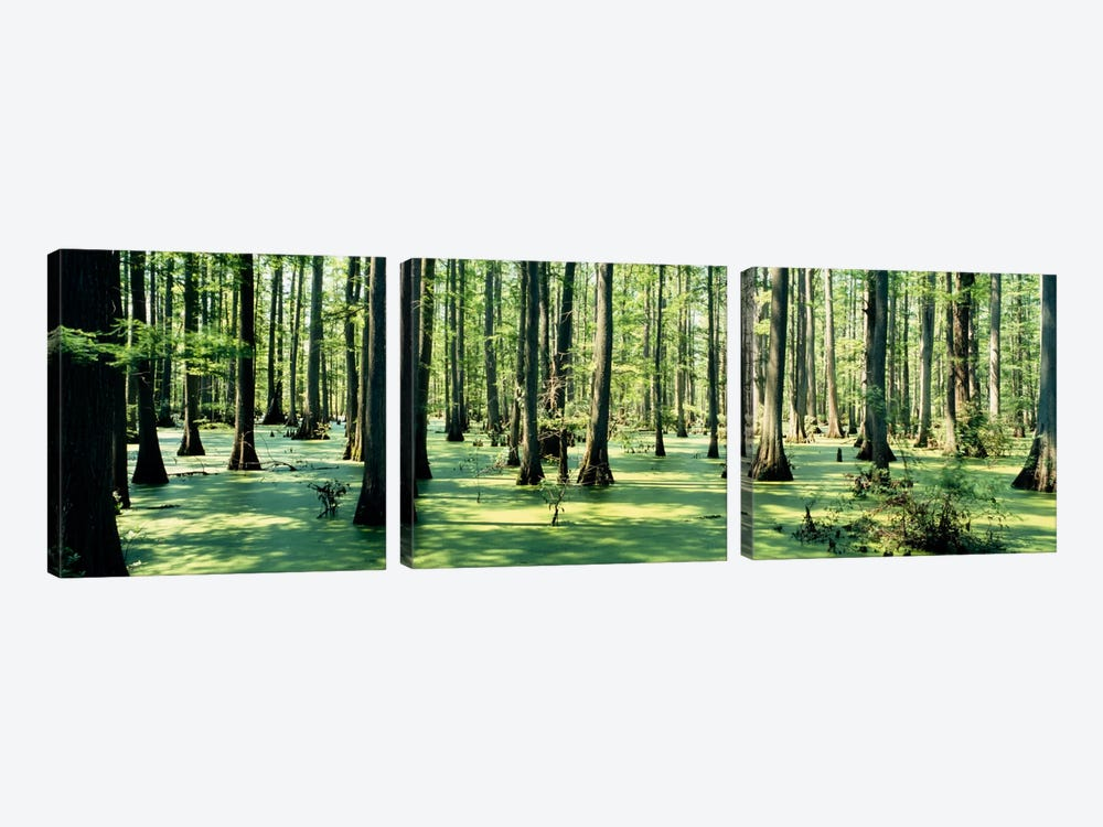 Cypress trees in a forestShawnee National Forest, Illinois, USA by Panoramic Images 3-piece Canvas Print