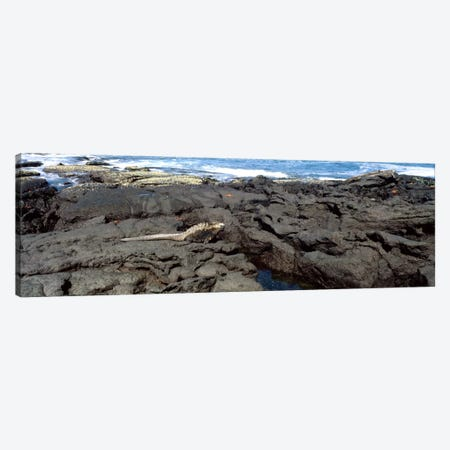 Marine iguana (Amblyrhynchus cristatus) on volcanic rock, Isabela Island, Galapagos Islands, Ecuador Canvas Print #PIM127} by Panoramic Images Canvas Artwork