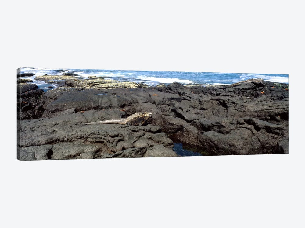 Marine iguana (Amblyrhynchus cristatus) on volcanic rock, Isabela Island, Galapagos Islands, Ecuador by Panoramic Images 1-piece Canvas Wall Art