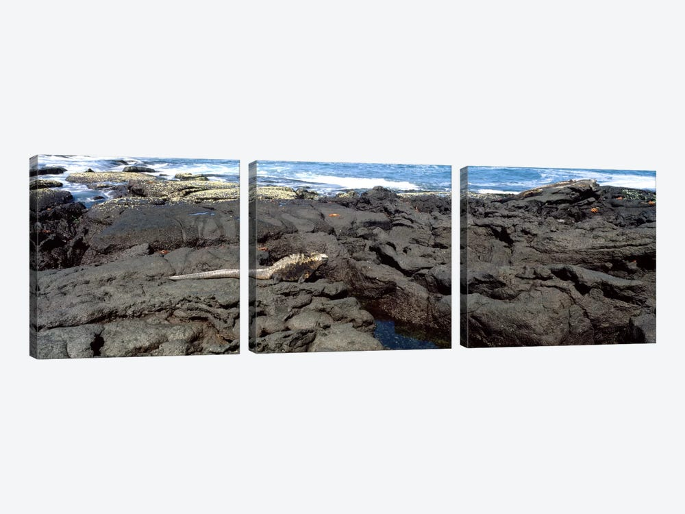Marine iguana (Amblyrhynchus cristatus) on volcanic rock, Isabela Island, Galapagos Islands, Ecuador by Panoramic Images 3-piece Canvas Artwork