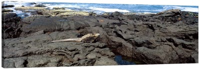 Marine iguana (Amblyrhynchus cristatus) on volcanic rock, Isabela Island, Galapagos Islands, Ecuador Canvas Art Print
