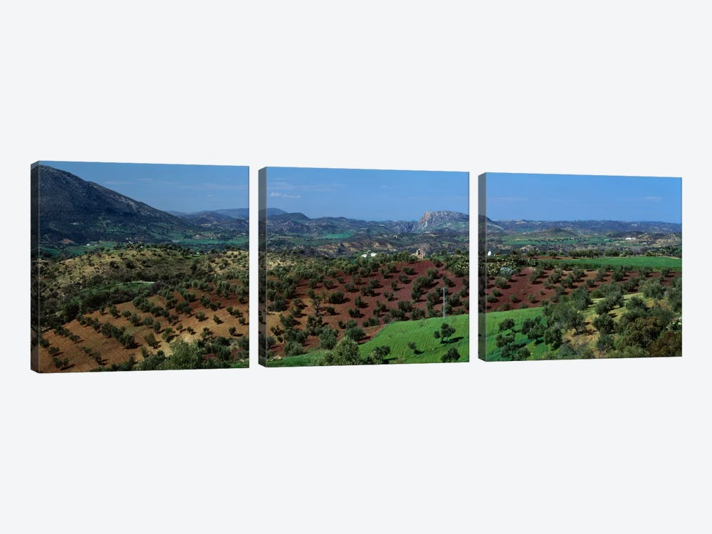 Olive Groves Andalucia Spain by Panoramic Images 3-piece Art Print