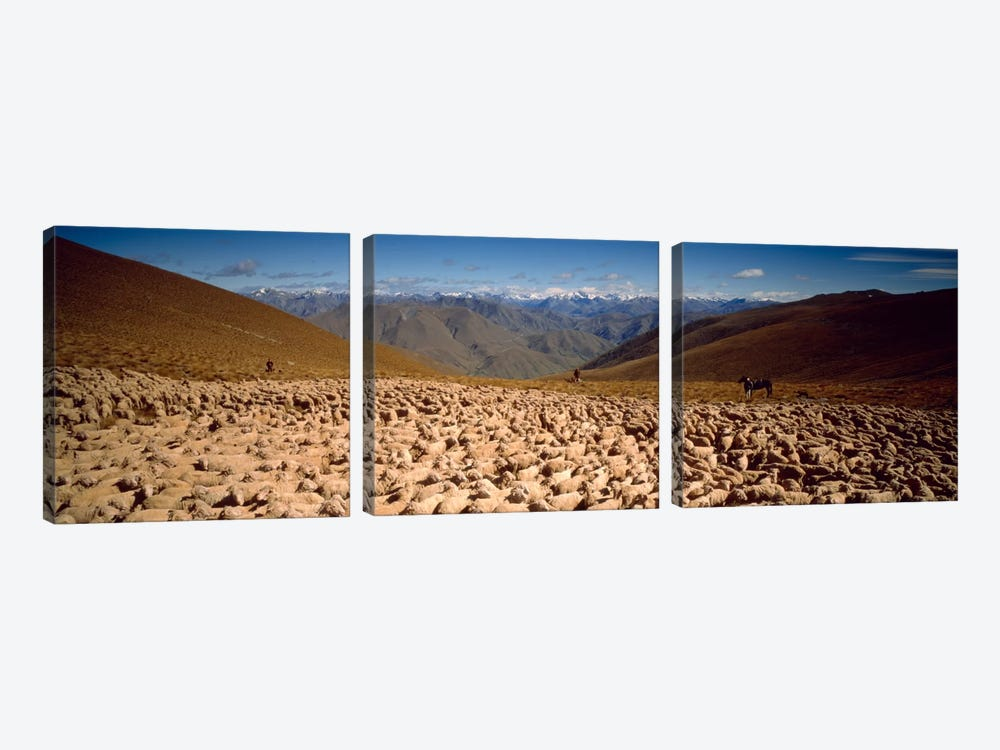 Sheep Otago New Zealand by Panoramic Images 3-piece Canvas Print