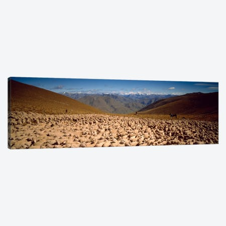Sheep Otago New Zealand Canvas Print #PIM1293} by Panoramic Images Canvas Art