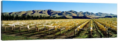 Vineyards N Canterbury New Zealand Canvas Art Print