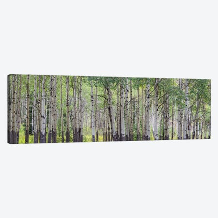 Aspen Trees I, Banff National Park, Alberta, Canada Canvas Print #PIM13025} by Panoramic Images Canvas Print