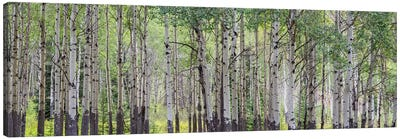 Aspen Trees I, Banff National Park, Alberta, Canada Canvas Print #PIM13025