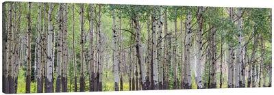 Aspen Trees I, Banff National Park, Alberta, Canada Canvas Print #PIM13025