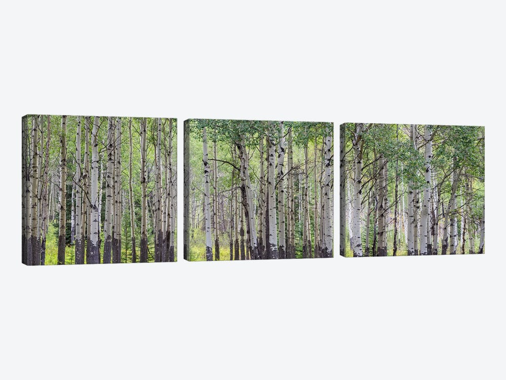 Aspen Trees I, Banff National Park, Alberta, Canada by Panoramic Images 3-piece Canvas Print