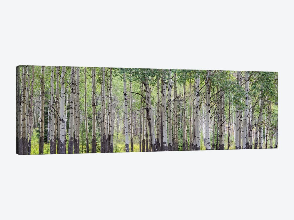 Aspen Trees I, Banff National Park, Alberta, Canada by Panoramic Images 1-piece Canvas Art Print