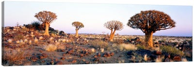 Quiver Trees Namibia Africa Canvas Print #PIM1306
