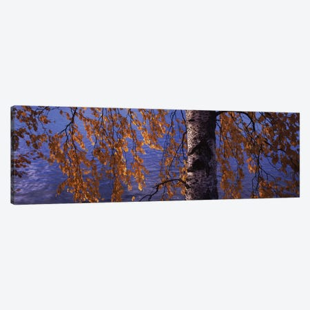 Leaves Of A Birch Tree, Vuoksi River, Imatra, Finland Canvas Print #PIM13317} by Panoramic Images Art Print