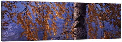 Leaves Of A Birch Tree, Vuoksi River, Imatra, Finland Canvas Print #PIM13317