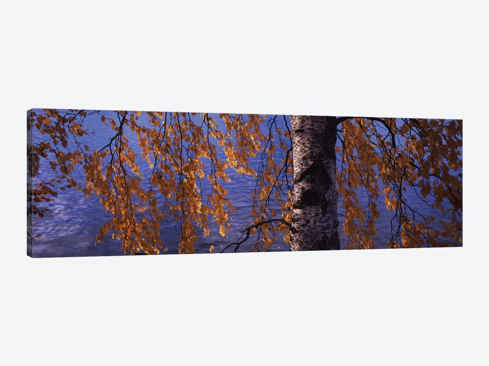 Leaves Of A Birch Tree, Vuoksi River, Imatra, Finland by Panoramic Images 1-piece Canvas Art