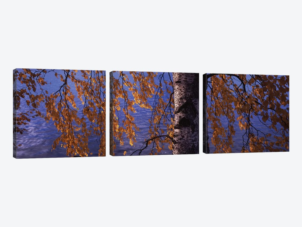 Leaves Of A Birch Tree, Vuoksi River, Imatra, Finland by Panoramic Images 3-piece Canvas Art