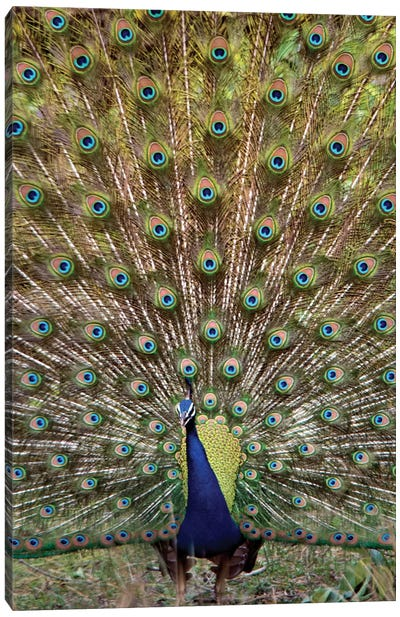 Peacock I, Kanha National Park, Madhya Pradesh, India Canvas Print #PIM13547