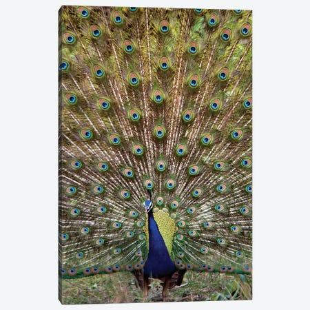 Peacock I, Kanha National Park, Madhya Pradesh, India Canvas Print #PIM13547} by Panoramic Images Canvas Wall Art