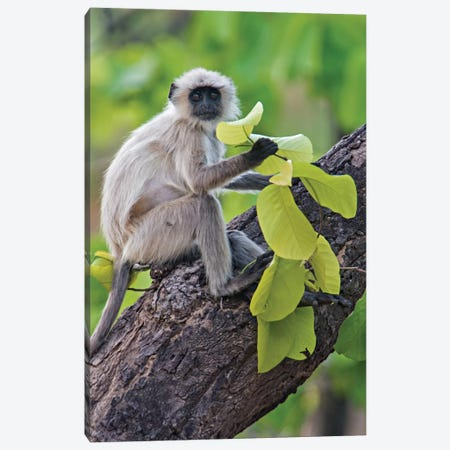 Gray Langur Monkey I, Kanha National Park, Madhya Pradesh, India Canvas Print #PIM13548} by Panoramic Images Canvas Print