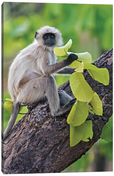 Gray Langur Monkey I, Kanha National Park, Madhya Pradesh, India Canvas Art Print