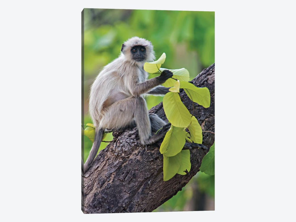 Gray Langur Monkey I, Kanha National Park, Madhya Pradesh, India by Panoramic Images 1-piece Canvas Art