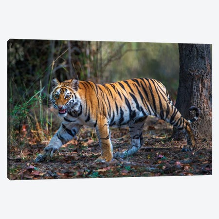 Bengal Tiger V, Bandhavgarh National Park, Umaria District, Madhya Pradesh, India Canvas Print #PIM13555} by Panoramic Images Canvas Art Print