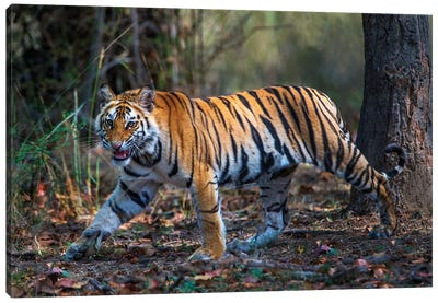 Bengal Tiger V, Bandhavgarh National Park, Umaria District, Madhya Pradesh, India Canvas Art Print