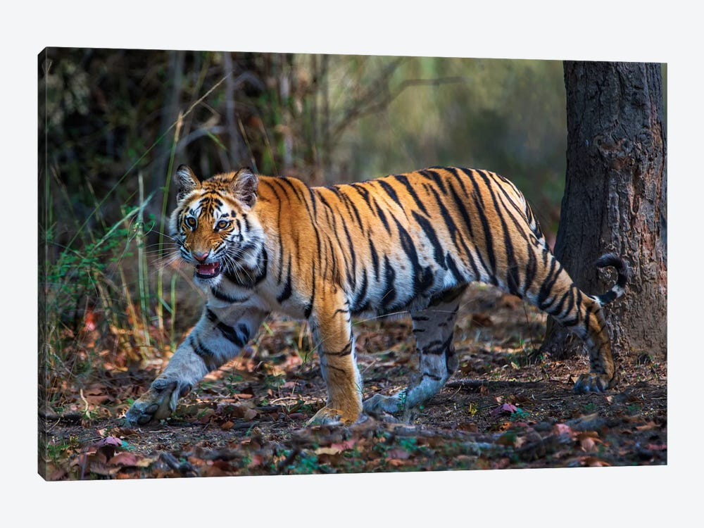 Bengal Tiger V, Bandhavgarh National Park, Umaria District, Madhya Pradesh, India by Panoramic Images 1-piece Canvas Art